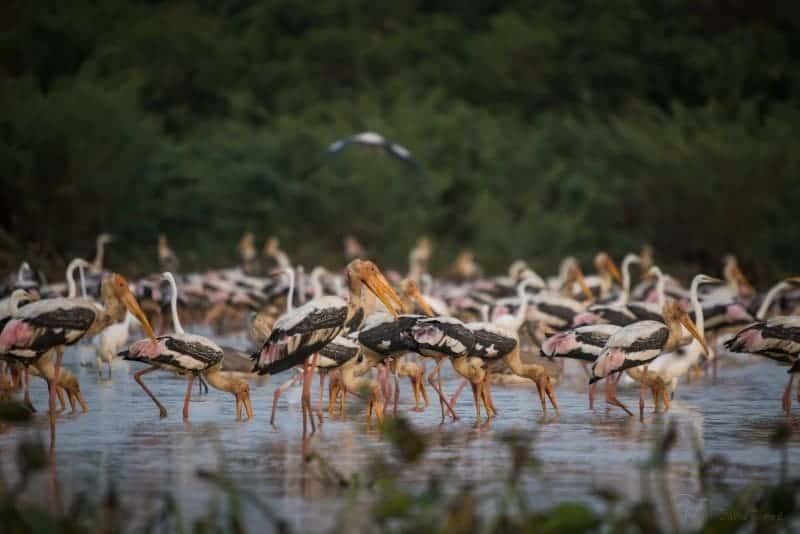 Bird Sanctuary in Siem Reap - Boeng Peariang Bird Reserve